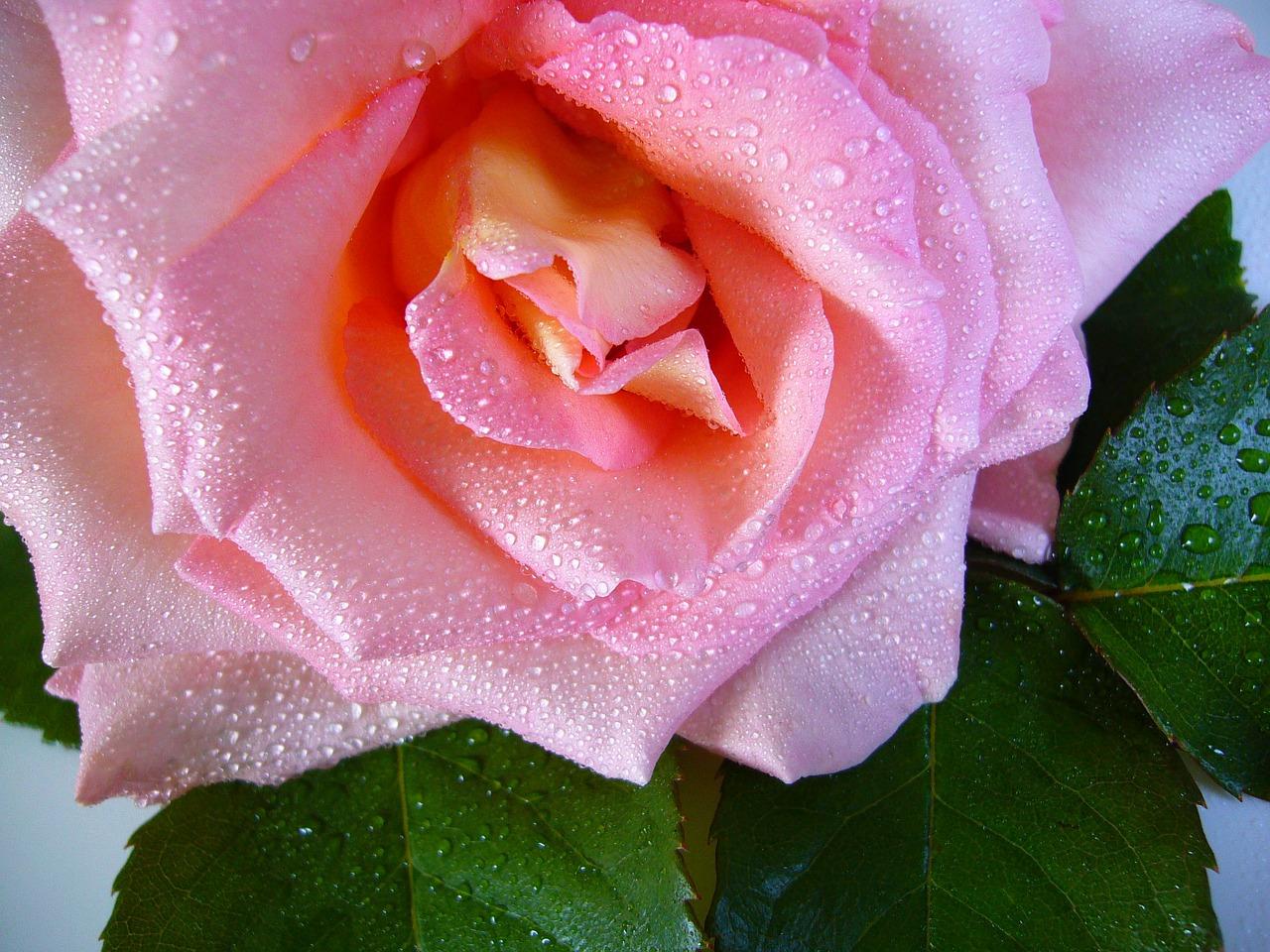 рассказ о любви вино из роз
