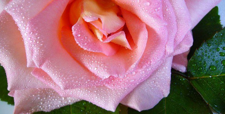 Рассказ о любви: Вино из роз